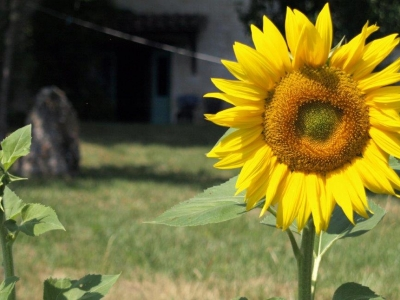 lot-valley-sunflowers